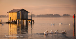 White Pelicans glide past an old stilt ice house in the bay by the Village of Cortez.